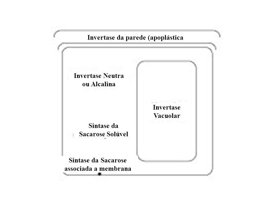 Invertase da parede (apoplástica Invertase Neutra ou Alcalina Sintase da Sacarose Solúvel Sintase da Sacarose associada a membrana Invertase Vacuolar