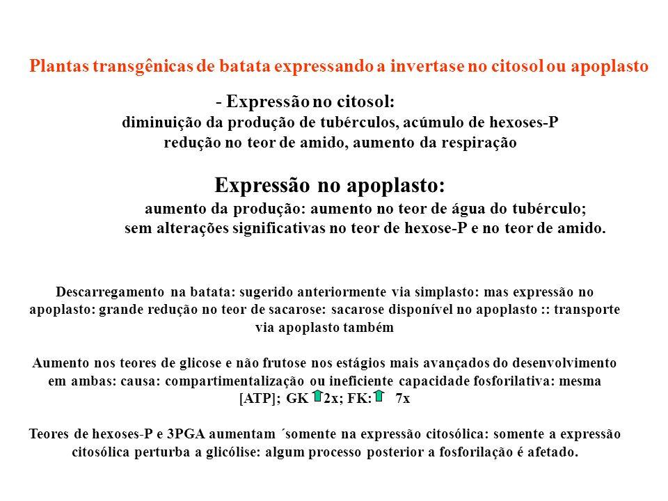 Plantas transgênicas de batata expressando a invertase no citosol ou apoplasto - Expressão no citosol: diminuição da produção de tubérculos, acúmulo d