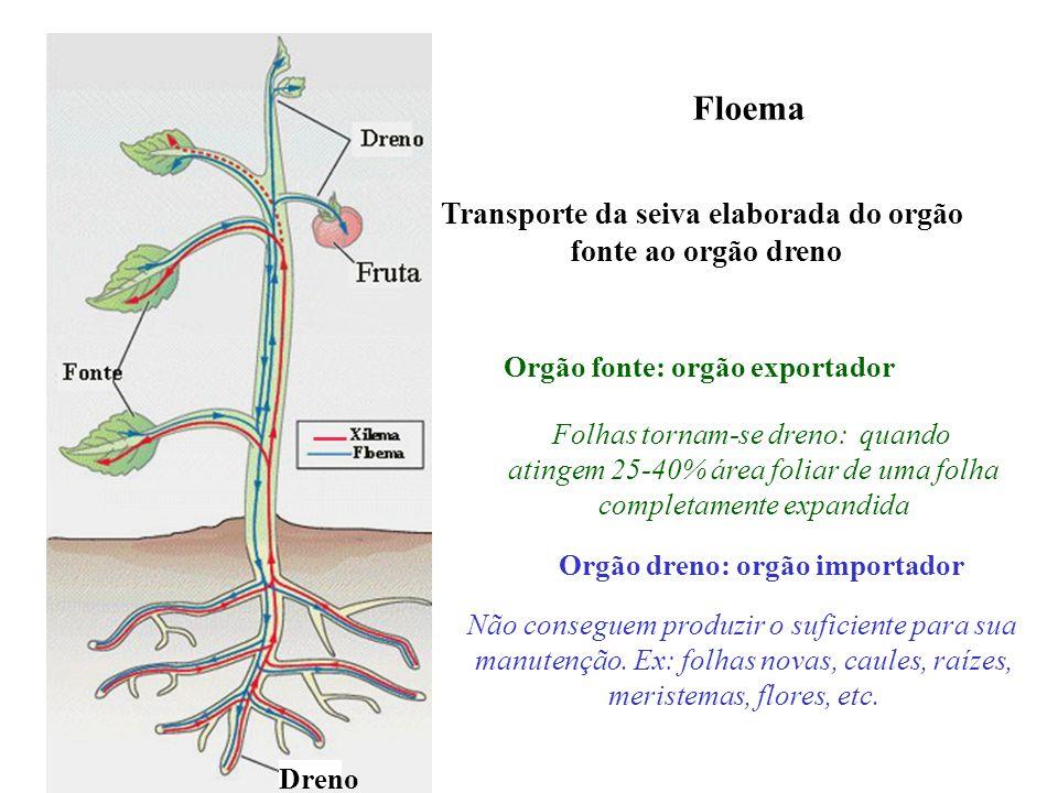Floema Transporte da seiva elaborada do orgão fonte ao orgão dreno Dreno Orgão fonte: orgão exportador Folhas tornam-se dreno: quando atingem 25-40% á