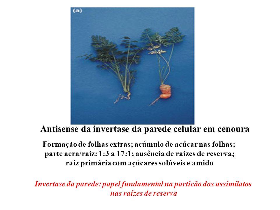 Antisense da invertase da parede celular em cenoura Formação de folhas extras; acúmulo de acúcar nas folhas; parte aéra/raiz: 1:3 a 17:1; ausência de