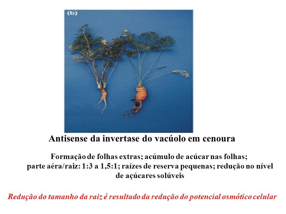Formação de folhas extras; acúmulo de acúcar nas folhas; parte aéra/raiz: 1:3 a 1,5:1; raízes de reserva pequenas; redução no nível de açúcares solúve