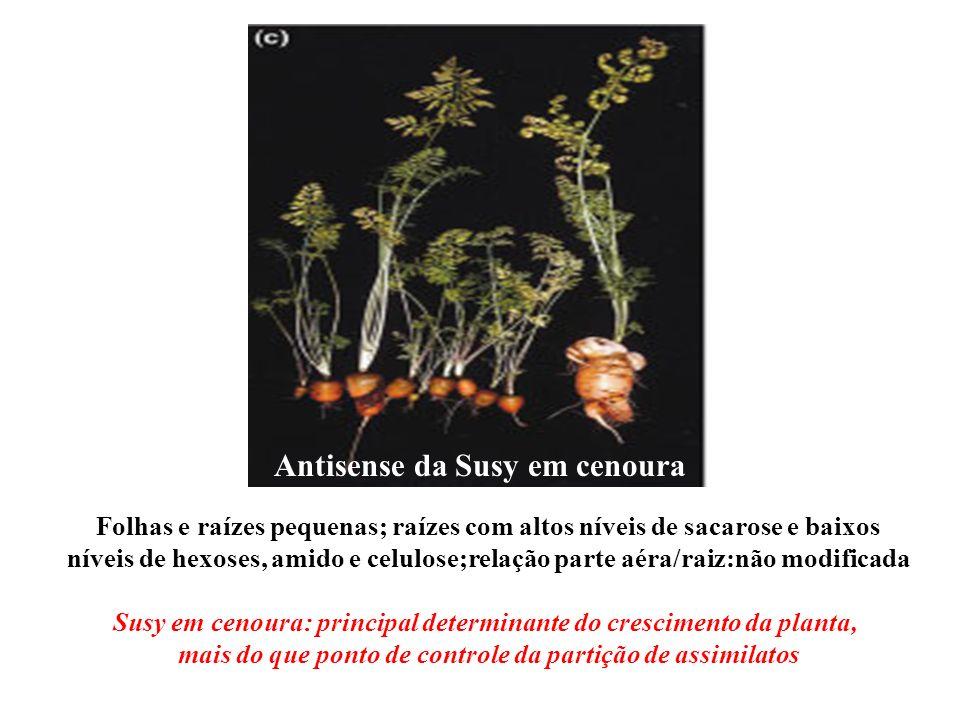 Folhas e raízes pequenas; raízes com altos níveis de sacarose e baixos níveis de hexoses, amido e celulose;relação parte aéra/raiz:não modificada Anti
