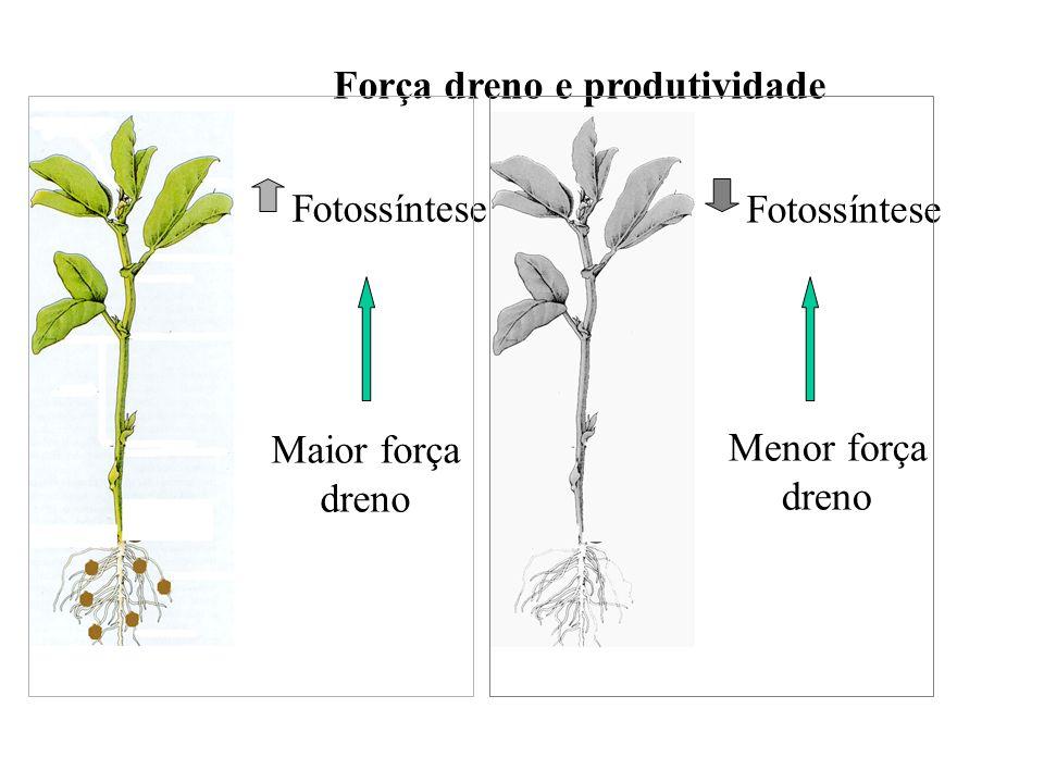 Força dreno e produtividade Maior força dreno Menor força dreno Fotossíntese