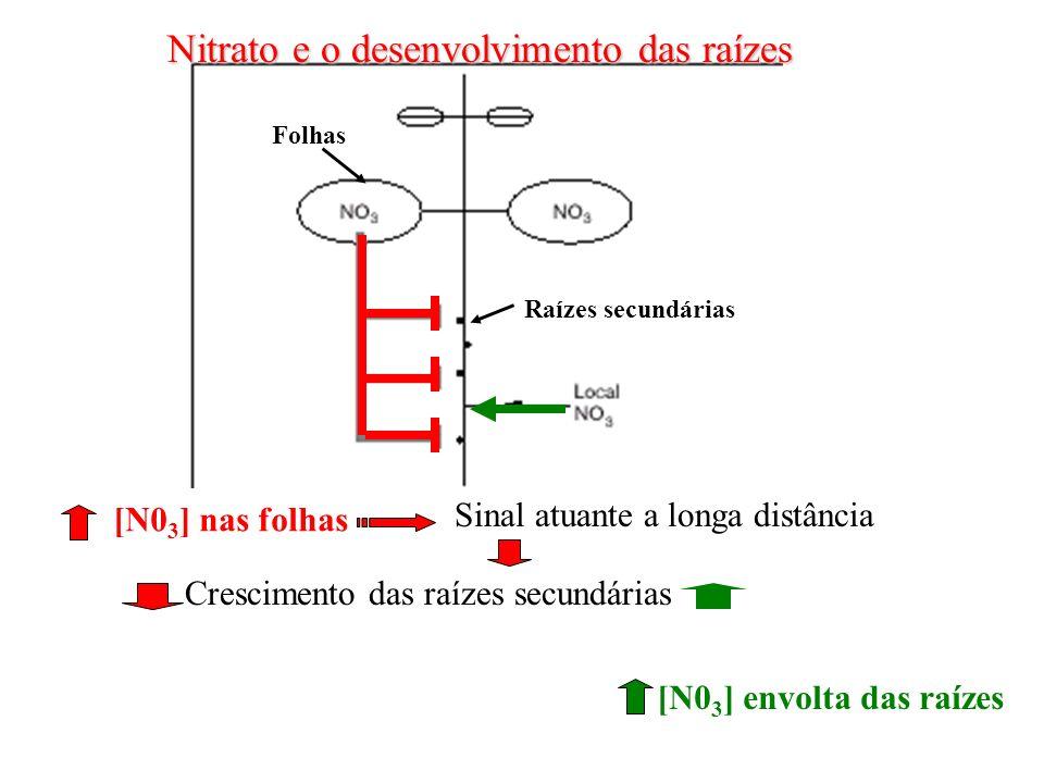 Folhas Raízes secundárias Nitrato e o desenvolvimento das raízes [N0 3 ] nas folhas Sinal atuante a longa distância Crescimento das raízes secundárias