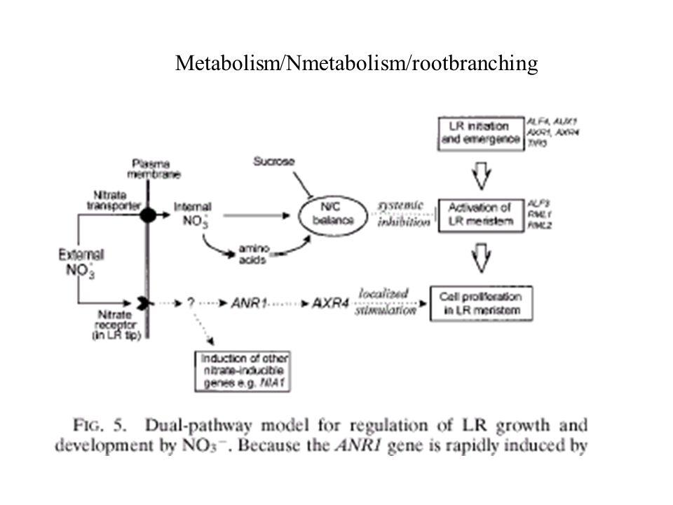 Metabolism/Nmetabolism/rootbranching