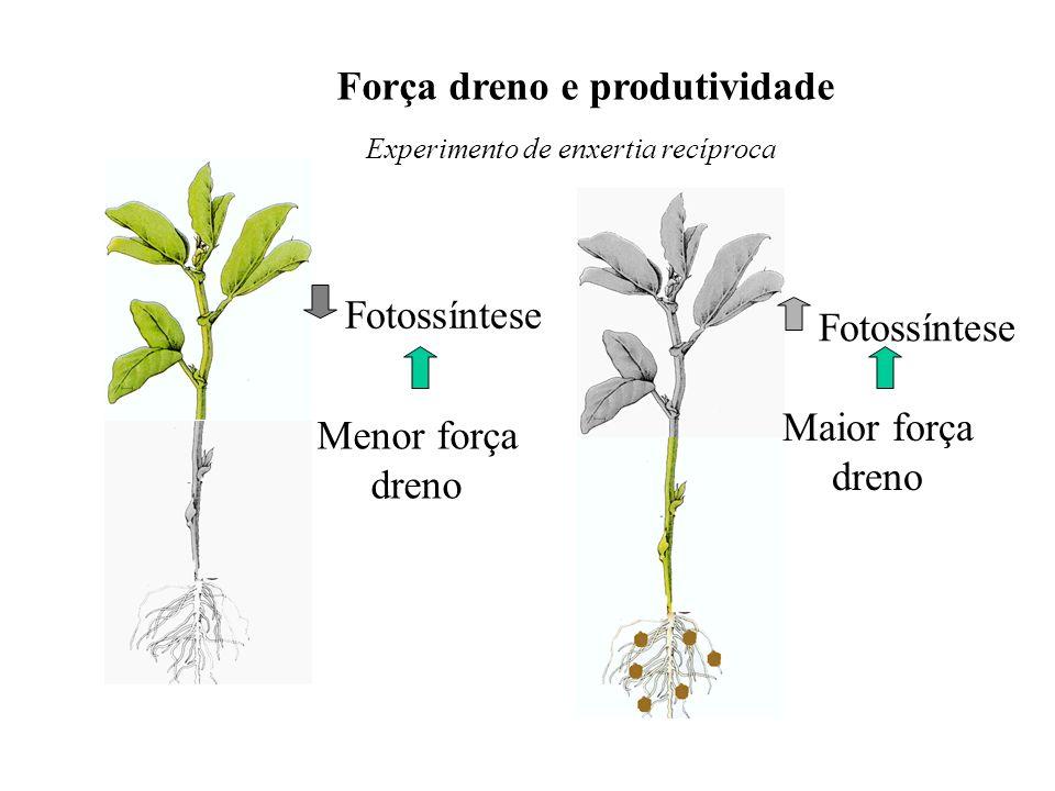 Força dreno e produtividade Experimento de enxertia recíproca Fotossíntese Menor força dreno Maior força dreno