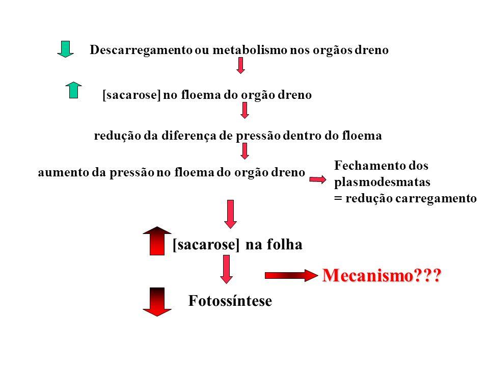 Descarregamento ou metabolismo nos orgãos dreno [sacarose] no floema do orgão dreno redução da diferença de pressão dentro do floema aumento da pressã