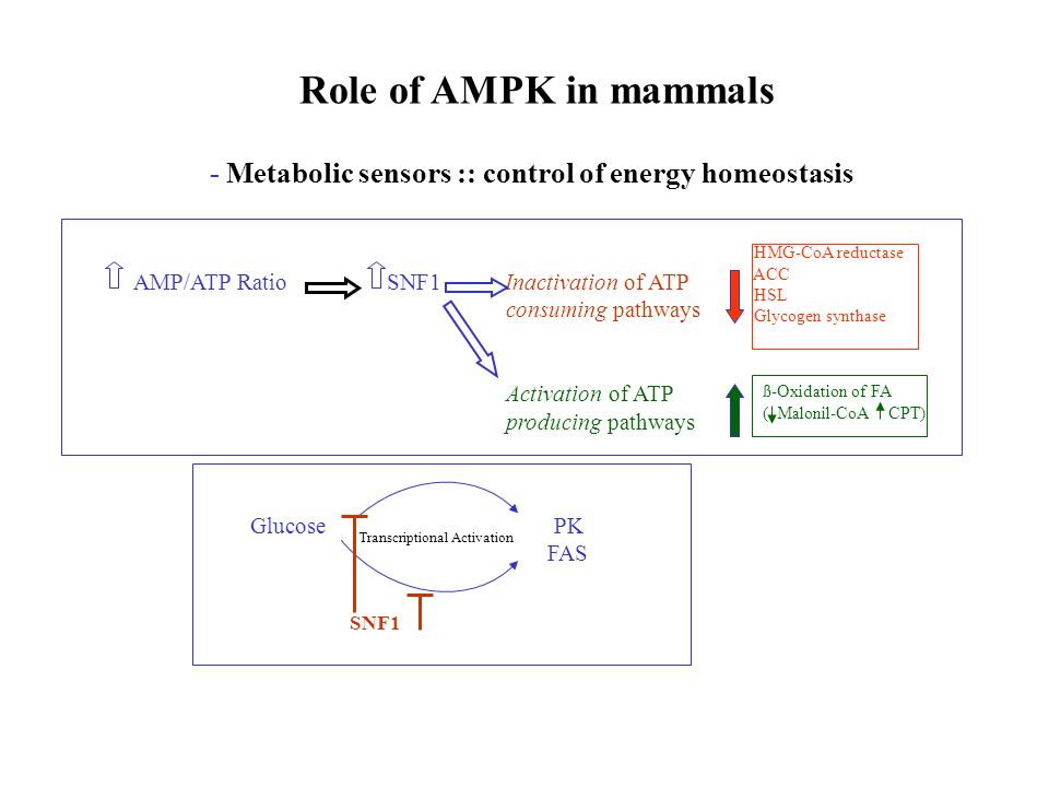 Role of AMPK in mammals - Metabolic sensors :: control of energy homeostasis AMP/ATP Ratio SNF1 Inactivation of ATP consuming pathways Activation of A