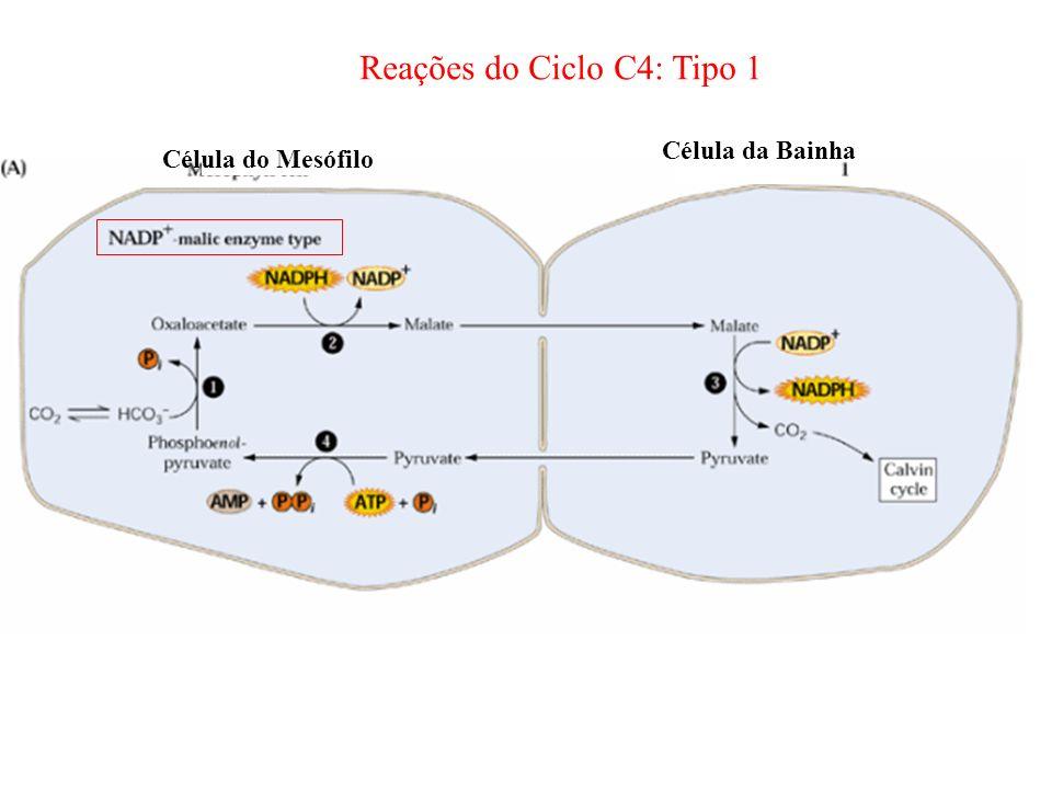 Célula do Mesófilo Célula da Bainha Reações do Ciclo C4: Tipo 1
