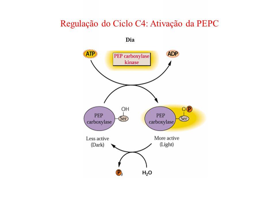 Dia Regulação do Ciclo C4: Ativação da PEPC