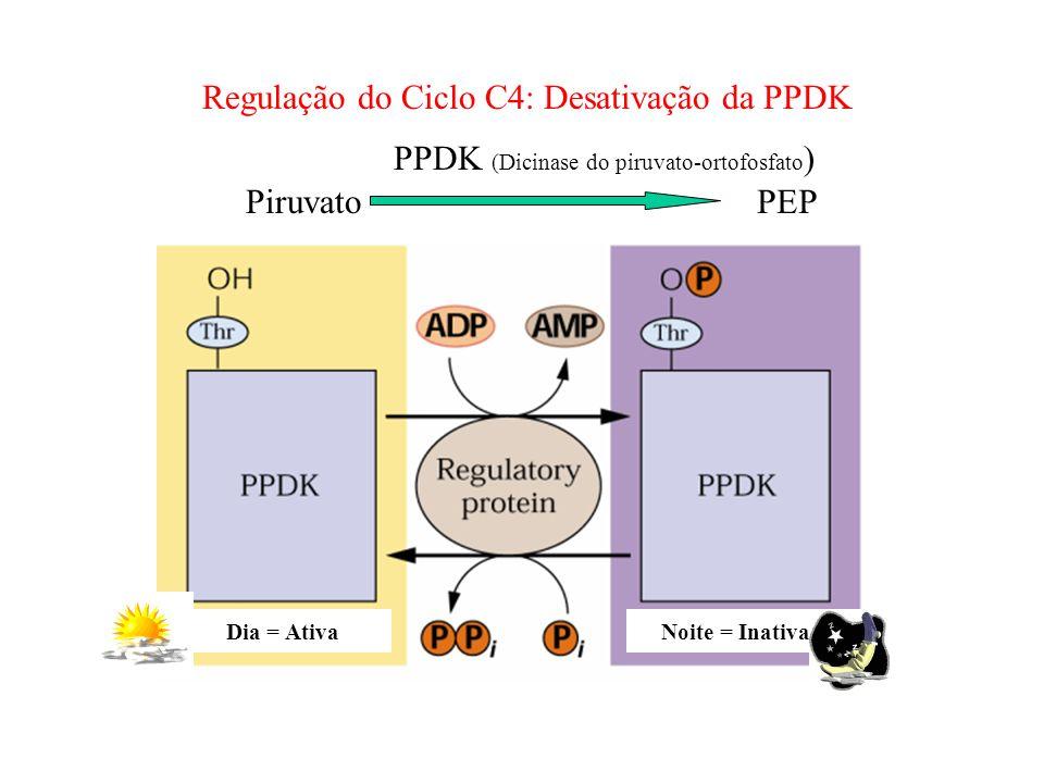 Noite = InativaDia = Ativa PPDK (Dicinase do piruvato-ortofosfato ) PiruvatoPEP Regulação do Ciclo C4: Desativação da PPDK