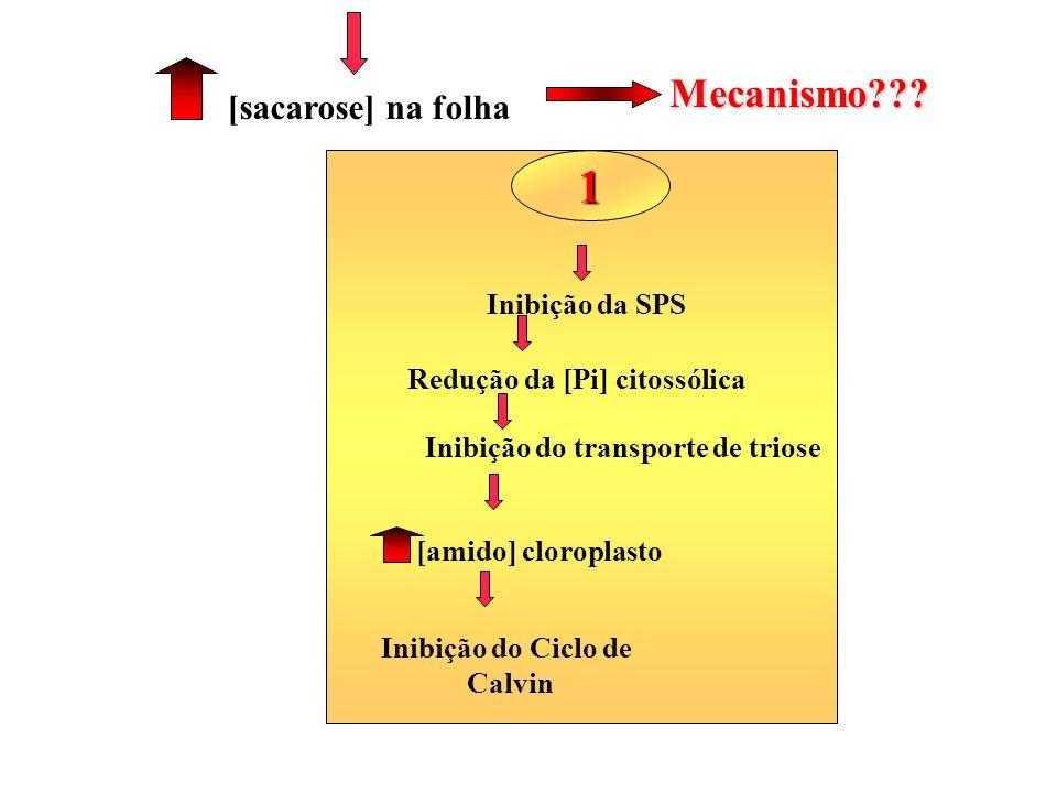 Inibição do transporte de triose Redução da [Pi] citossólica [amido] cloroplasto [sacarose] na folha Inibição da SPS Inibição do Ciclo de Calvin Mecan
