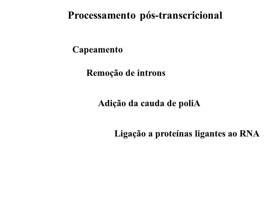 Processamento pós-transcricional Capeamento Remoção de introns Adição da cauda de poliA Ligação a proteínas ligantes ao RNA