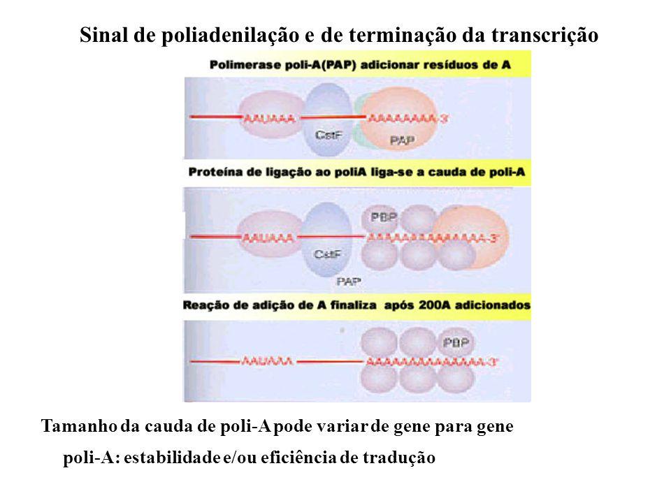 Sinal de poliadenilação e de terminação da transcrição Tamanho da cauda de poli-A pode variar de gene para gene poli-A: estabilidade e/ou eficiência d