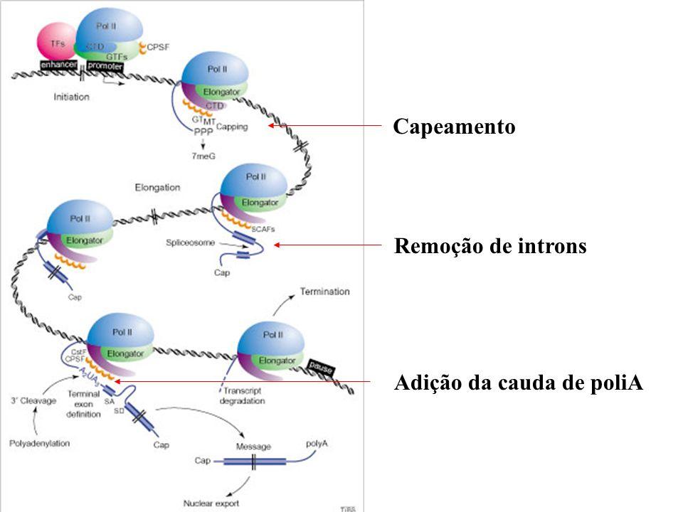 Poliadenilação - Presente em eucariotos: enzima Poli-A polimerase Sequência AAUAAA em mamíferos: - Altamente conservada em mamíferos - Presente em região 11 a 30 nt antes do sítio de adição do poliA - cordycepin (3deoxyadenosine): impede o transporte para o citosol Sinal de poliadenilação e de terminação da transcrição Em animais somente uma sequência é presente.