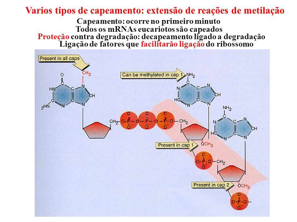 Capeamento: ocorre no primeiro minuto Varios tipos de capeamento: extensão de reações de metilação Todos os mRNAs eucariotos são capeados Proteção con