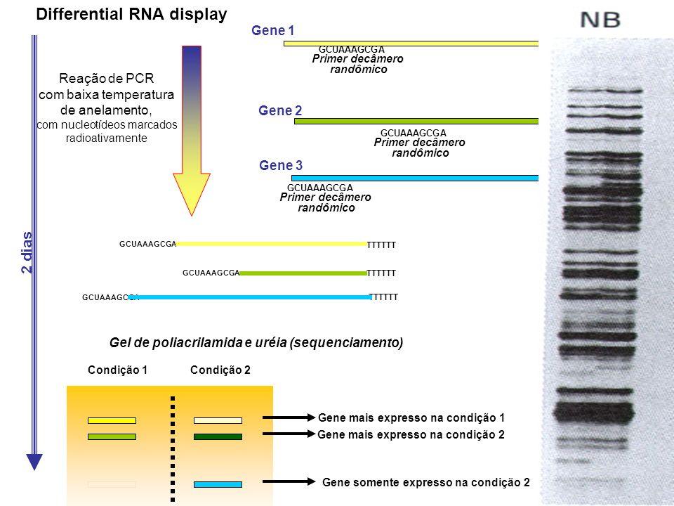 Condição 1Condição 2 Gel de poliacrilamida e uréia (sequenciamento) Differential RNA display TTTTTT Primer OligodT GCUAAAGCGA Primer decâmero randômic
