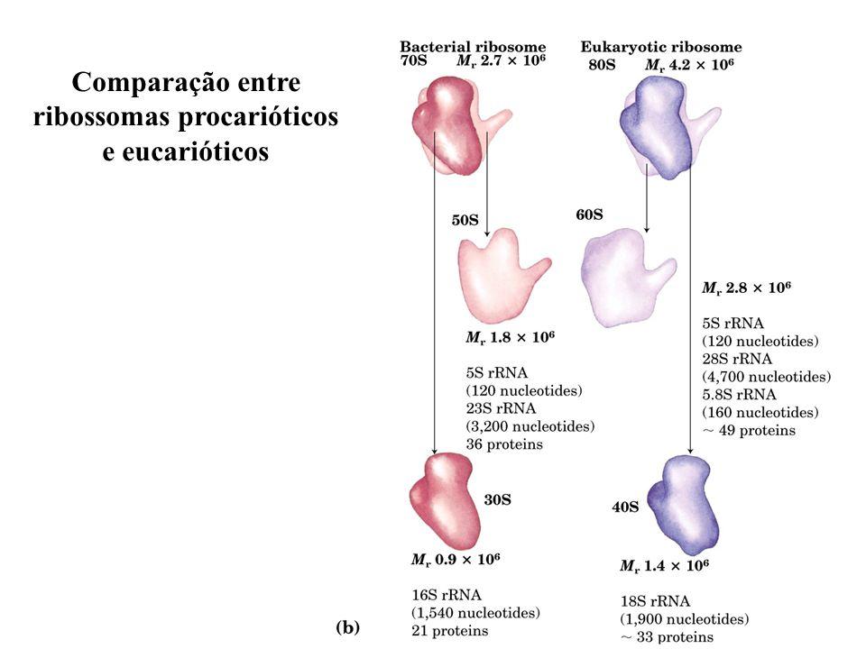 18 Comparação entre ribossomas procarióticos e eucarióticos
