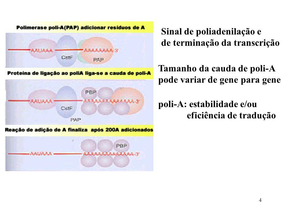 4 Sinal de poliadenilação e de terminação da transcrição Tamanho da cauda de poli-A pode variar de gene para gene poli-A: estabilidade e/ou eficiência