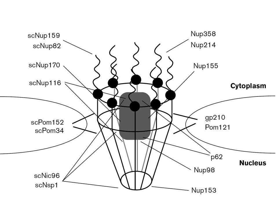 8 Regiões conservadas nas proteínas do poro nuclear