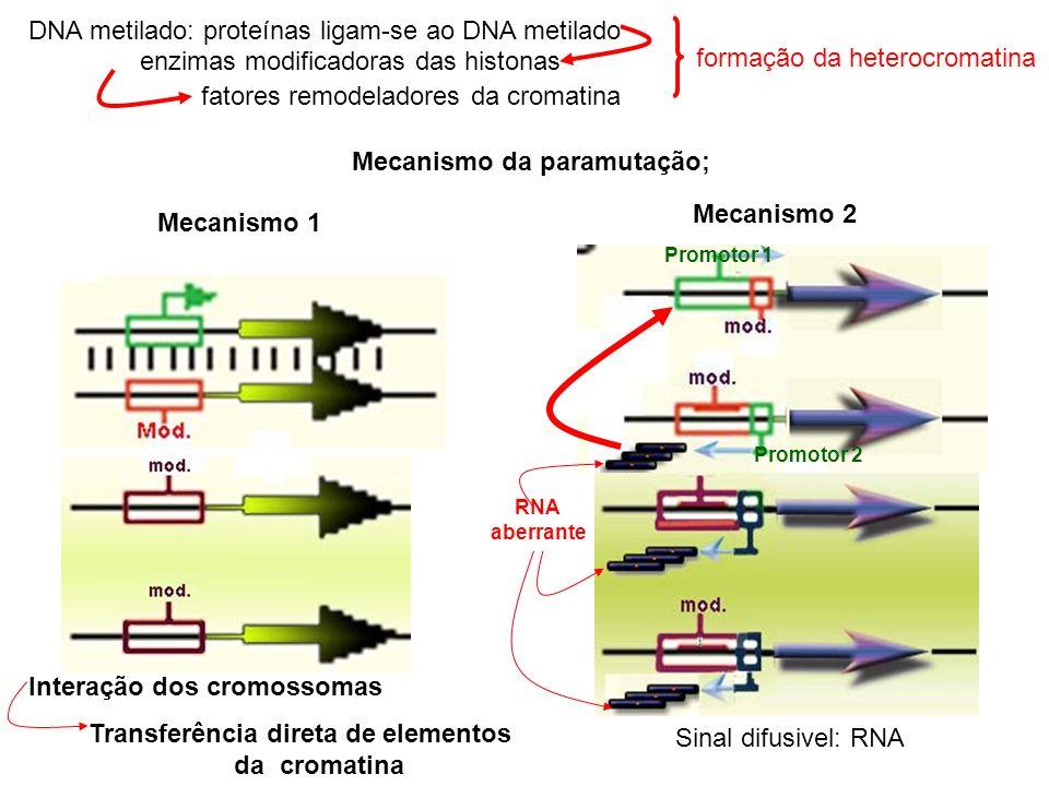 DNA metilado: proteínas ligam-se ao DNA metilado Mecanismo da paramutação; Mecanismo 1 Interação dos cromossomas Mecanismo 2 formação da heterocromati