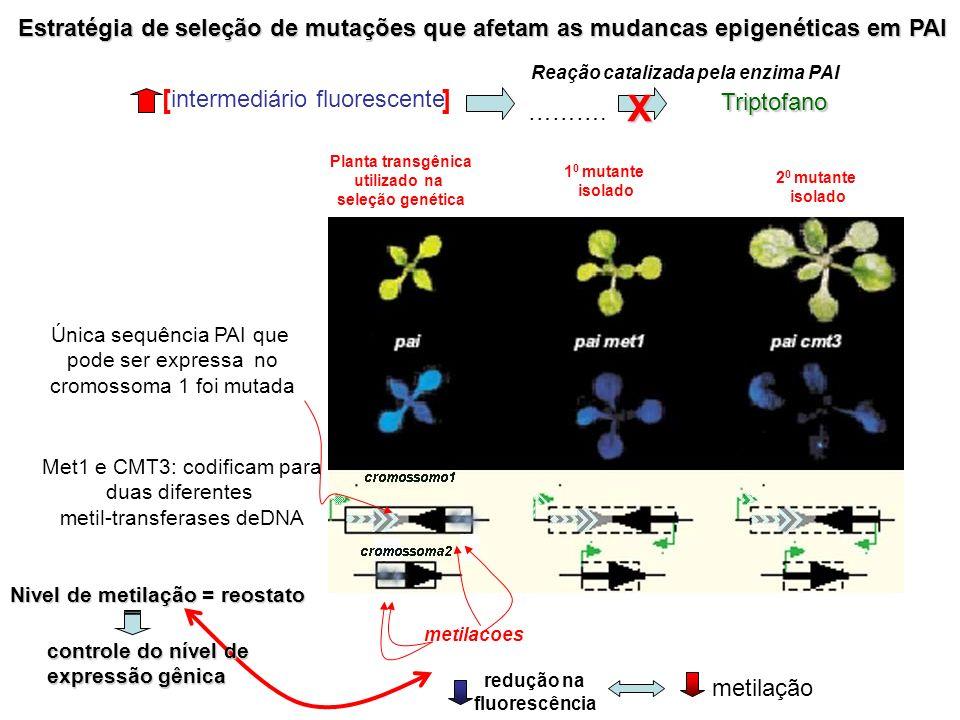 Estratégia de seleção de mutações que afetam as mudancas epigenéticas em PAI metilacoes Planta transgênica utilizado na seleção genética 1 0 mutante i