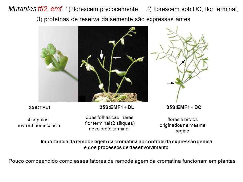Mutantes tfl2, emf : 1) florescem precocemente, 35S:TFL1 4 sépalas nova influorescência 35S:EMF1 + DL duas folhas caulinares flor terminal (2 silíquas