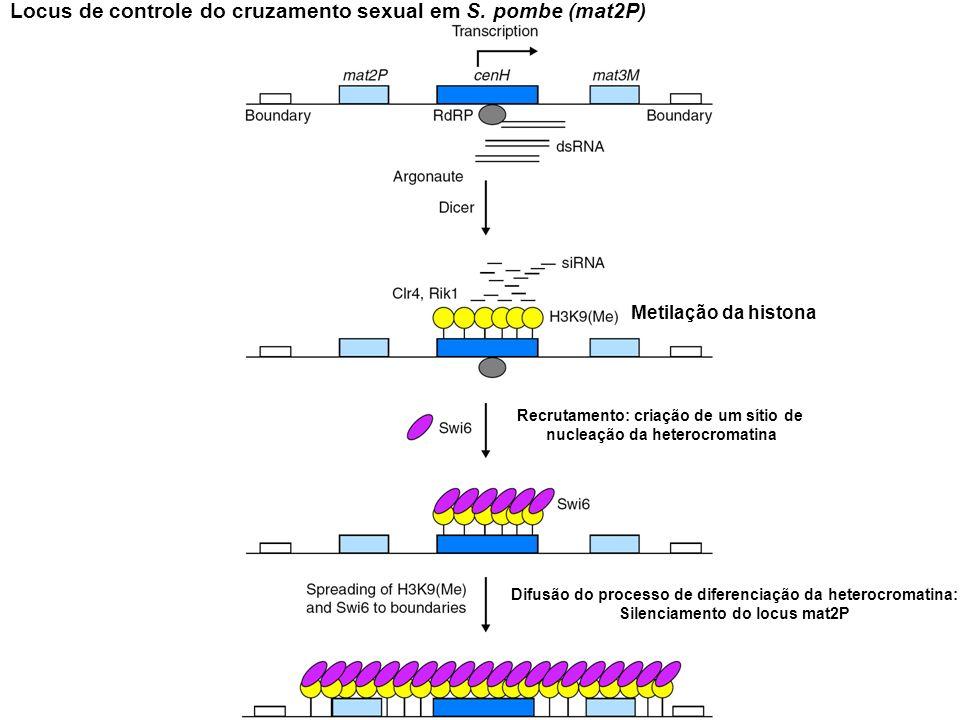 Locus de controle do cruzamento sexual em S. pombe (mat2P) Metilação da histona Recrutamento: criação de um sítio de nucleação da heterocromatina Difu