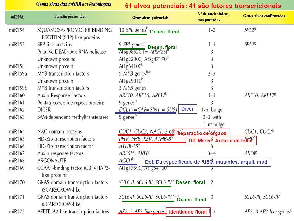 Dicer Det. Da especificade de RISC: mutantes: arquit. mod 61 alvos potenciais: 41 são fatores transcricionais Dif. Merist. Axilar e da folha Separação