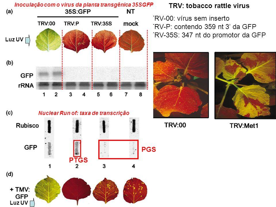 TRV: tobacco rattle virus TRV-00: vírus sem inserto TRV-P: contendo 359 nt 3 da GFP TRV-35S: 347 nt do promotor da GFP Luz UV Nuclear Run of: taxa de