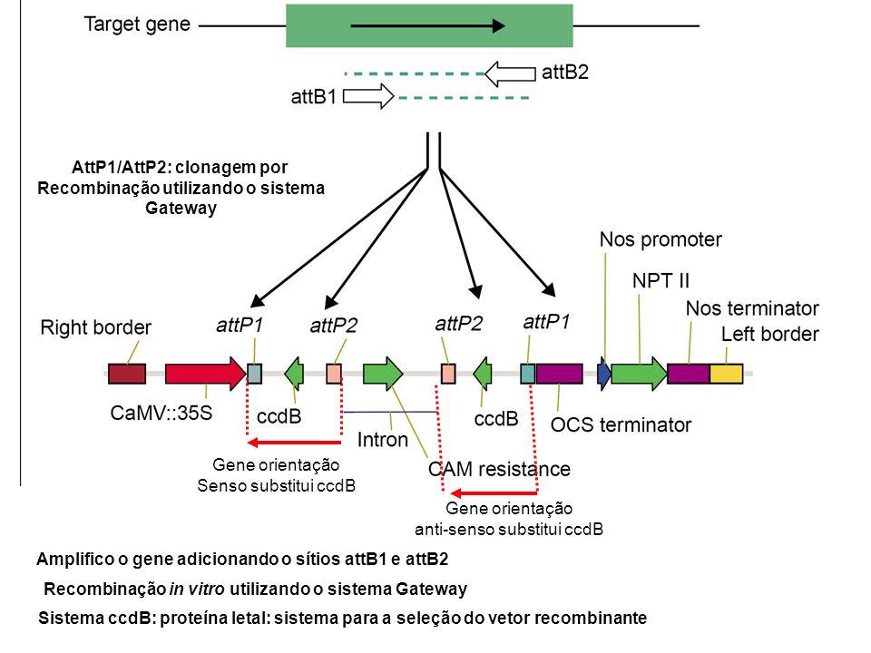 AttP1/AttP2: clonagem por Recombinação utilizando o sistema Gateway Amplifico o gene adicionando o sítios attB1 e attB2 Recombinação in vitro utilizan