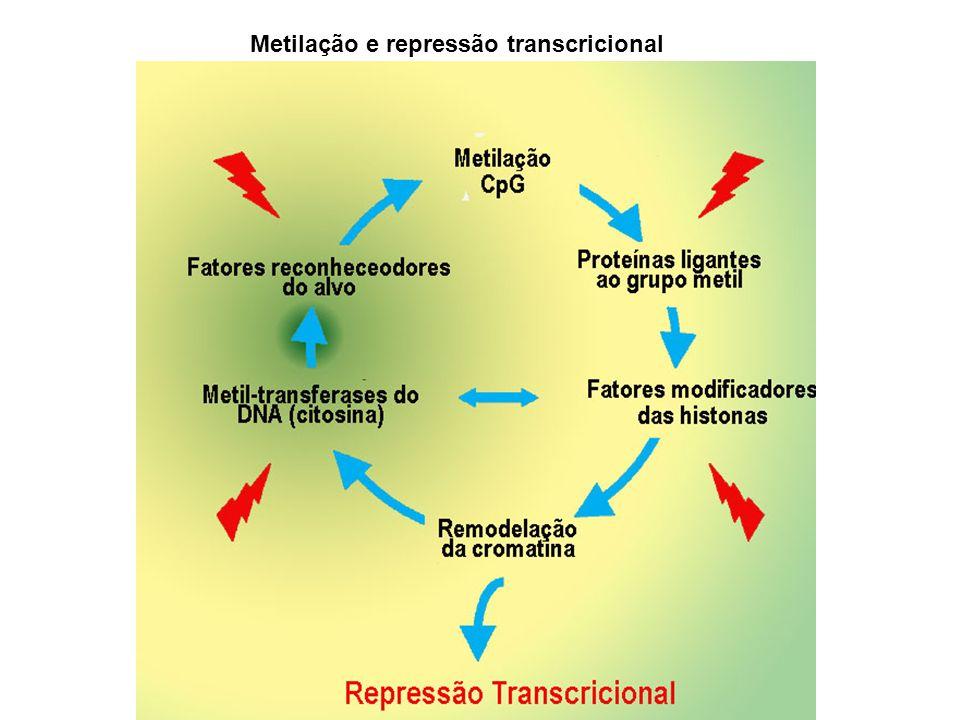 Imprinting: a expressão de certos alelos difere dependendo da origem do gameta Exs: mamiferos, fungos e plantas Bom nível de expressão quando transmitido pelo óvulo ::cor sólida da semente Ex: pigmentação da semente de milho: alelos r (red): Baixo nível de expressão quando transmitido pelo pólem ::cor variegada: Mecanismo epigenético 1: Imprinting Diferenças fenotípicas: não depende da dosagem do gene R mas sim de mudanças epigenéticas que são macho-específicas