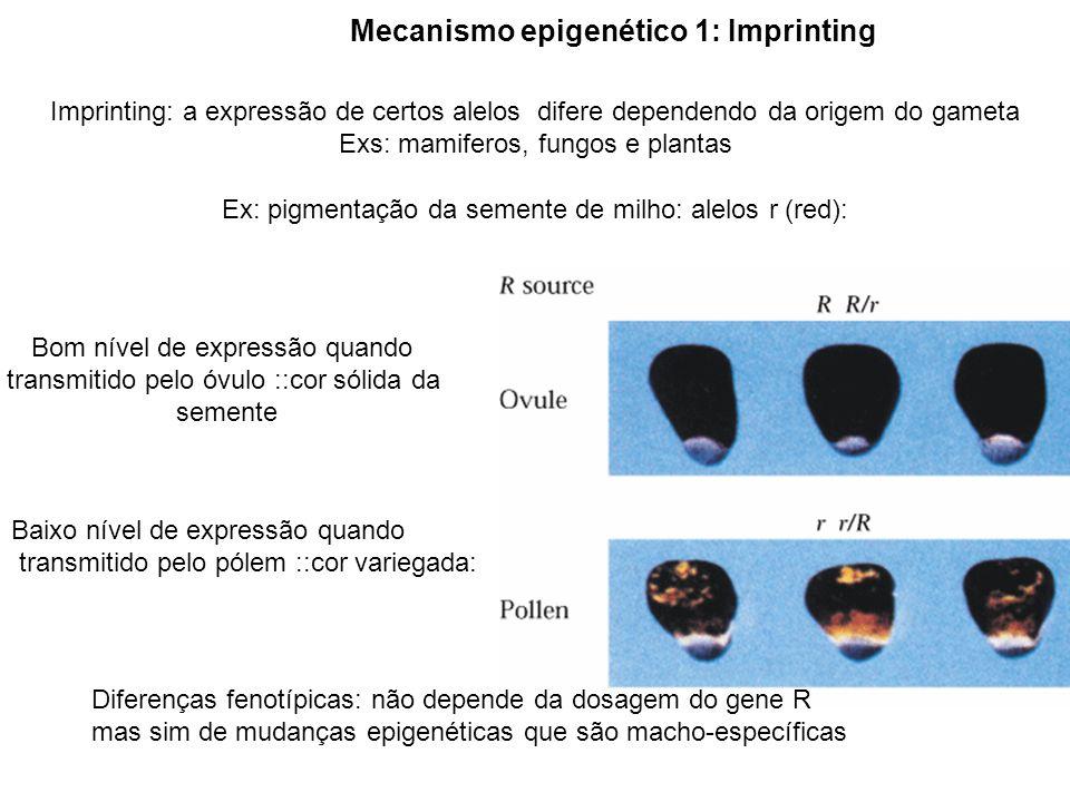 2x x 2x Imprinting: sementes; mudanças epigenéticas relacionadas a dosagem gênica e ligadas ao sexo Transgênicos e Mutantes hipometilados Grande desenvolvimento do endosperma periférico e chalazal, mas sem celularização Fenocópia 4x x 2x Fenocópia 2x x 4xFenocópia 2x x 6x Maternalização = redução da metilação Reduzido endosperma periférico e chalazal