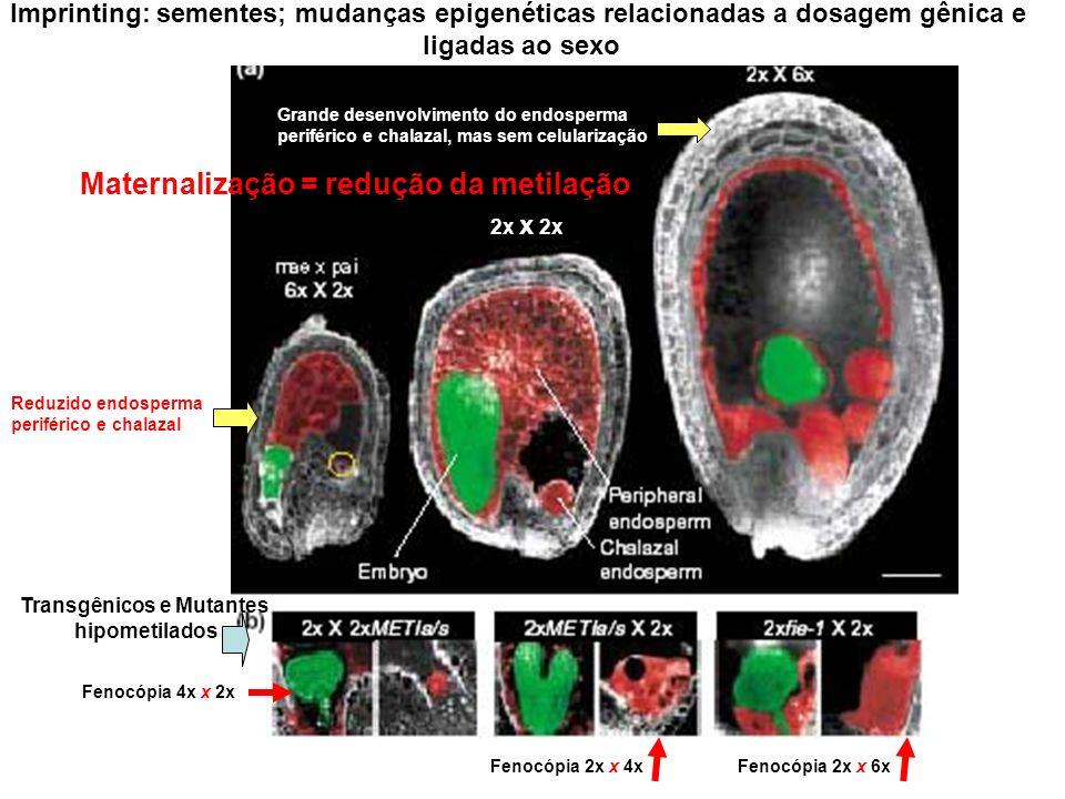 2x x 2x Imprinting: sementes; mudanças epigenéticas relacionadas a dosagem gênica e ligadas ao sexo Transgênicos e Mutantes hipometilados Grande desen