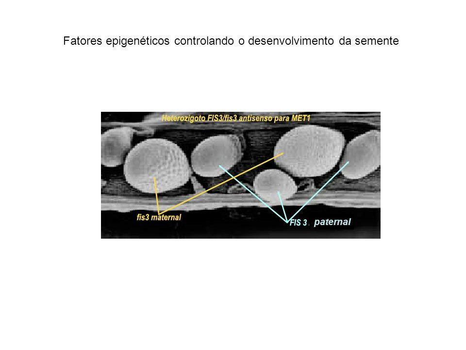 Mecanismo do imprinting (ratos) Dois genes reciprocamente sofrendo imprinting: 90 kb distância Igf2: fator cresc.