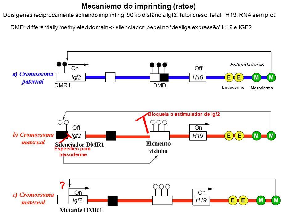 Mecanismo do imprinting (ratos) Dois genes reciprocamente sofrendo imprinting: 90 kb distância Igf2: fator cresc. fetal H19: RNA sem prot. DMD: differ