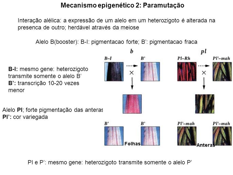 DNA metilado: proteínas ligam-se ao DNA metilado Mecanismo da paramutação; Mecanismo 1 Interação dos cromossomas Mecanismo 2 formação da heterocromatina Promotor 1 Promotor 2 RNA aberrante Sinal difusivel: RNA enzimas modificadoras das histonas fatores remodeladores da cromatina Transferência direta de elementos da cromatina