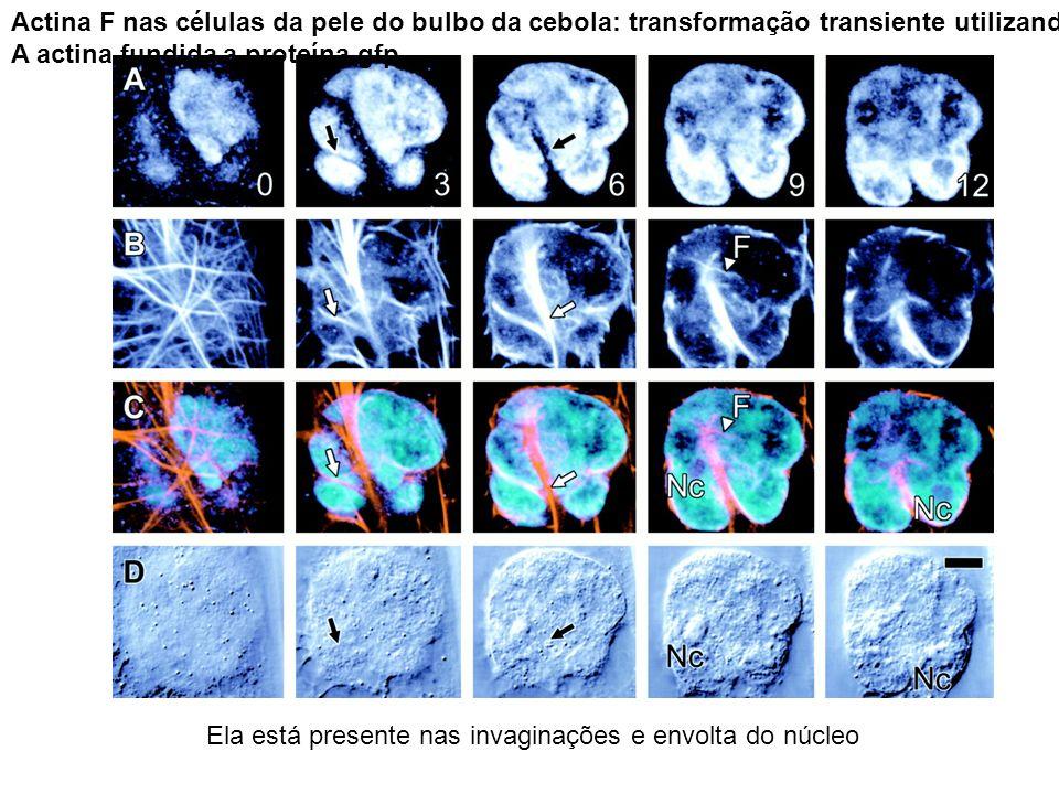Actina F nas células da pele do bulbo da cebola: transformação transiente utilizando A actina fundida a proteína gfp Ela está presente nas invaginaçõe