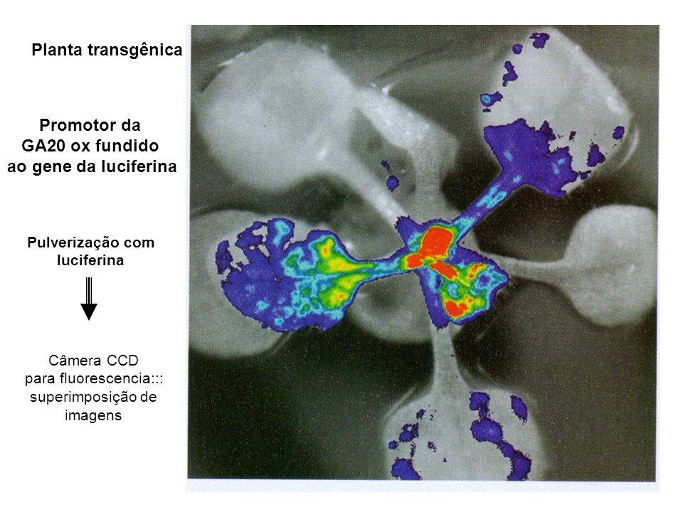 Promotor da GA20 ox fundido ao gene da luciferina Pulverização com luciferina Planta transgênica Câmera CCD para fluorescencia::: superimposição de im