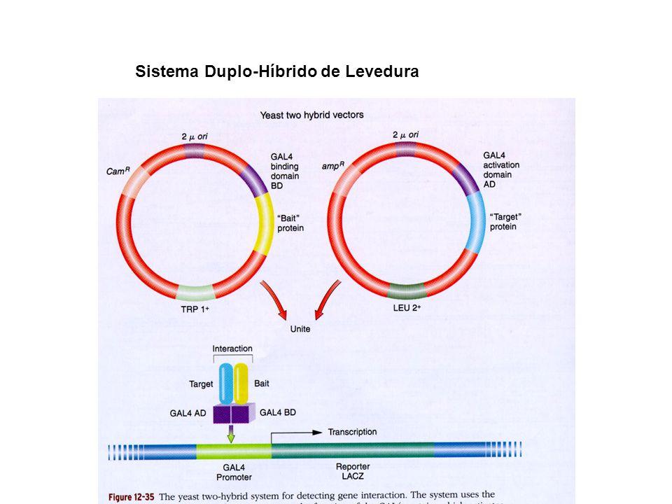 Estudo da Estrutura de um promotor 1) Análise por deleção