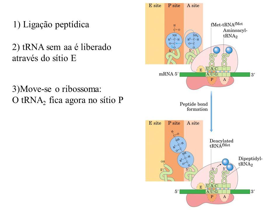 11 1) Ligação peptídica 2) tRNA sem aa é liberado através do sítio E 3)Move-se o ribossoma: O tRNA 2 fica agora no sítio P