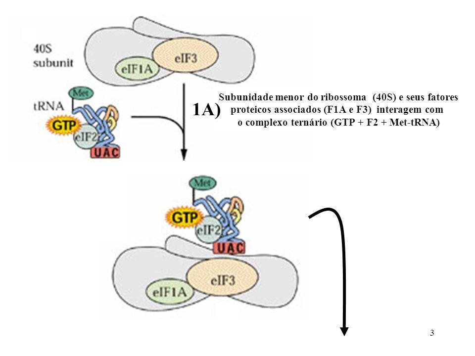 4 Monta-se o complexo de reconhecimento da região capeada do mRNA, através da interação de vários fatores de iniciação da família F4 (F4E, F4G, F4B, F4A) 1B) Liga-se o complexo ternário ao complexo de reconhecimento da região capeada, formando o complexo de iniciação 2)