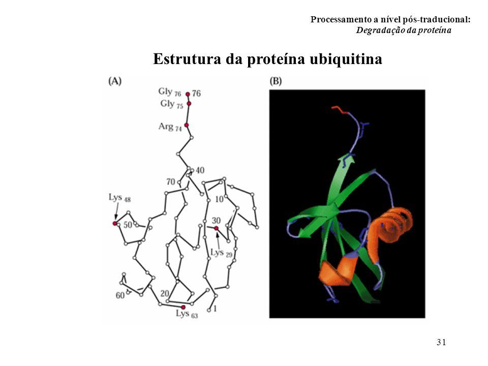31 Processamento a nível pós-traducional: Degradação da proteína Estrutura da proteína ubiquitina