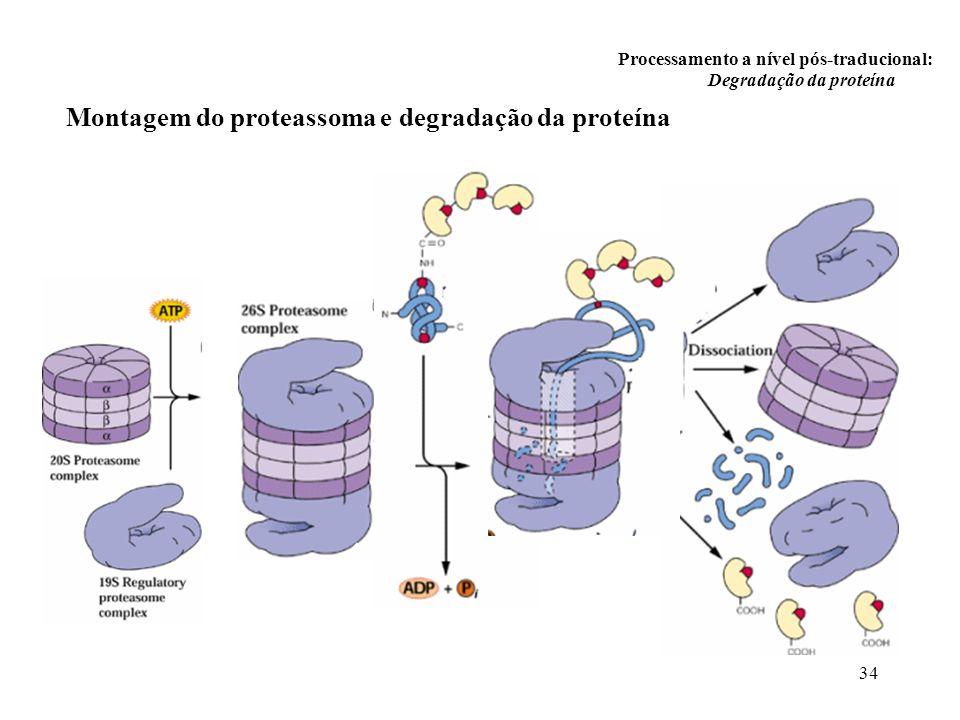 34 Processamento a nível pós-traducional: Degradação da proteína Montagem do proteassoma e degradação da proteína