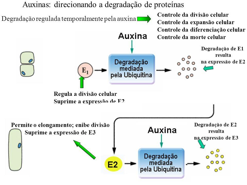 38 Auxinas: direcionando a degradação de proteínas Degradação regulada temporalmente pela auxina Controle da divisão celular Controle da expansão celu