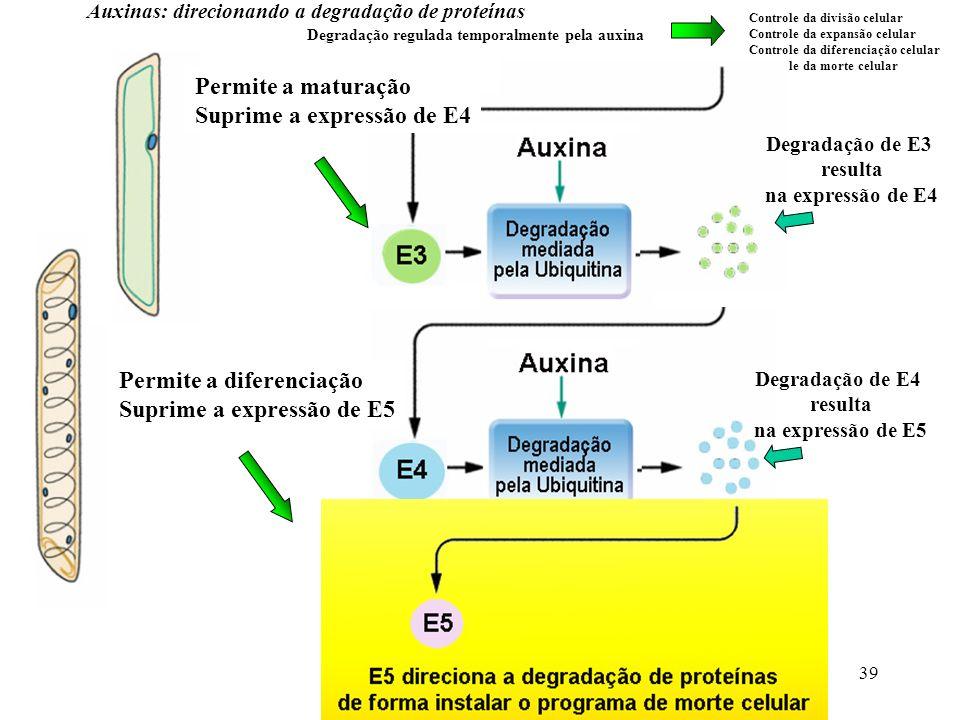 39 Auxinas: direcionando a degradação de proteínas Degradação regulada temporalmente pela auxina Controle da divisão celular Controle da expansão celu