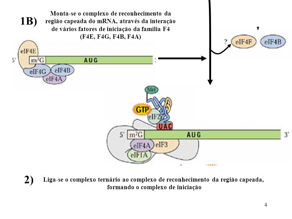 4 Monta-se o complexo de reconhecimento da região capeada do mRNA, através da interação de vários fatores de iniciação da família F4 (F4E, F4G, F4B, F