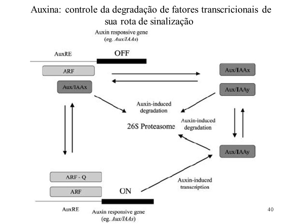 40 Auxina: controle da degradação de fatores transcricionais de sua rota de sinalização