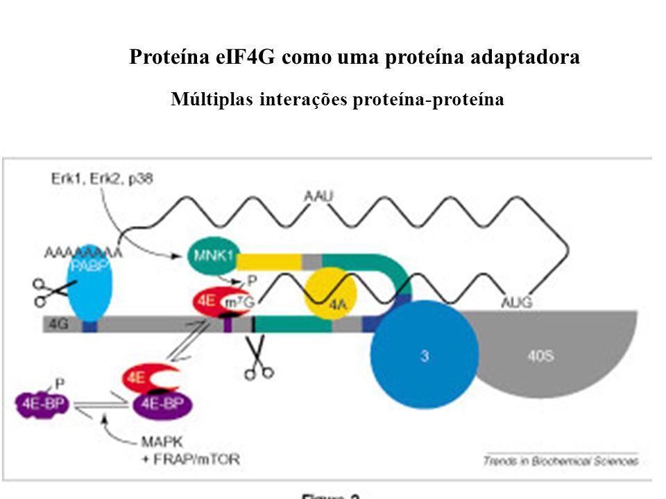 7 Visão em corte superior da proteína IF4 na montagem do complexo