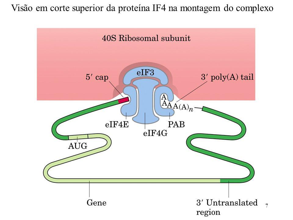 8 Controle da iniciação da tradução: Fosforilação do fator de iniciação eIF2 pode reduzir a taxa de tradução Fosforilação em resposta: - Proteínas mal dobradas - Estresses Deficiências nutricionais...